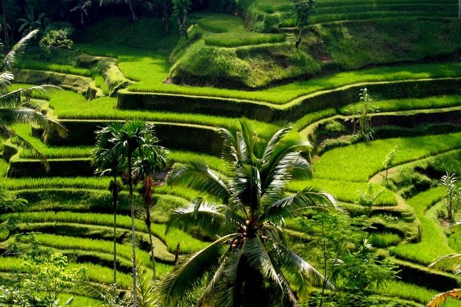 Most popular Bali full day tour is a tour package including expensive entrances ticket at visited objects and no extra hours charge with an impressive experience by professional tour driver guide who will always guiding you in every object and not just drop you there like most car with drivers service only done to visit Kintamani with their breathtaking view of an active volcano and lake, Balinese culture with their majestic heritage, nature with their tropical plantation, also to see the making of many beautiful handicraft which is made by local people. This tour is very enjoyable with our professional Tour Bali Driver who always do outstanding for guest satisfaction. transported by full air-conditioning comfortable car and served with delicious lunch and afternoon tea on the way of the trip. You may also skip some objects if you wish to spend more time on specific objects, and there is a chance to do many type of jungle swing on your personal expenses.