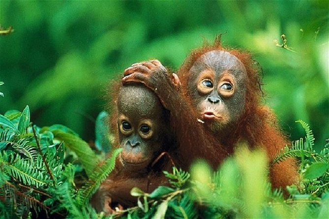 This tour will take you to Bukit Lawang Gunung Leuser National park, where you will have a chance to hike some of the world's most beautiful rainforests ultimately leading to a viewing of one of Sumatra's most famous inhabitants, the Sumatran Orangutan.