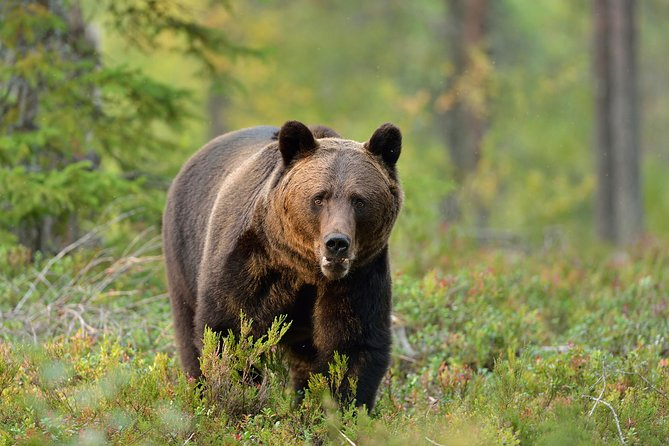 IMPORTANT: because of COVID-19 you have to arrange your own transportation to the hide!<br><br>Seize the opportunity to witness Carpathian brown bears in the wild on this 3-hour bear-watching experience from Brașov. Leaving at sunset, travel by minivan or car into the Carpathian Mountains, and, accompanied by a forest ranger, walk into the forests to a secure hide. Then, wait quietly to spot the beautiful brown bears that roam the woodlands. Look for youngsters, large males, and females with their cubs, and for other wildlife including deer, lynx and wild boar.