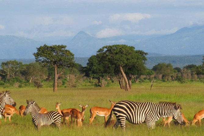 You will be taken to Mikumi national park, which is Tanzania's fourth largest park based in southern circuit and it even covers a distance of 3230km.<br><br>This park is famous for tree climbing lions and it's bordered with both Udzungwa and Uluguru chain of mountains. The safari will starts from Dar es salaam and it takes approximately 4hrs which covers about 320km.