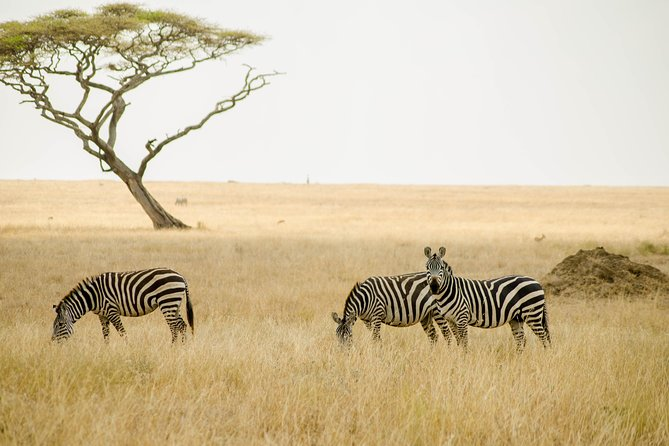 This fly-in safari to Serengeti, starts from Seronera Airstrip, fly with your favorite airline to Seronera where our guide will meet you and ready to start the game drives with you. By spending two nights in the park there is a great chance of spotting the big 5 in just three days<br><br>The resident driver from the camp will be waiting for you at Seronera airstrip for game drives using our signature Safari Land Cruisers