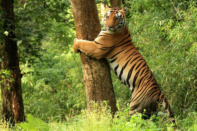 Kanha Tiger Reserve, also called Kanha National Park, is one of the tiger reserves of India and the largest national park of Madhya Pradesh, state in the heart of India. The present-day Kanha area is divided into two sanctuaries, Hallon and Banjar, of 250 and 300km2 respectively.[1] Kanha National Park was created on 1 June 1955 and in 1973 was made the Kanha Tiger Reserve. Today it stretches over an area of 940km2 in the two districts Mandla and Balaghat. <br><br>The Kanha National Park is well know for Tigers and offers safaris through the forest to get closer to the wildlife – both flora and fauna. This widespread national reserve is rich with rare species of vegetation and animals living in harmony.