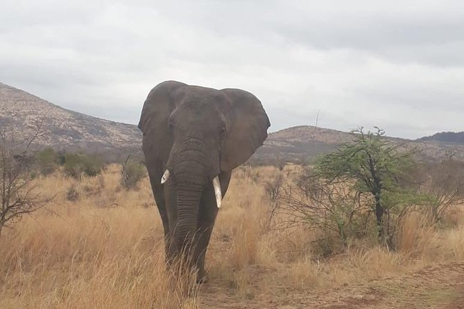 The Pilanesberg is home not only to the Big 5 but to a host of other popular animals like zebra, giraffe, antelope, warthog and over 100 species of bird. The tour is conducted in an open air game vehicle giving you the opportunity to experience the animals with the cool African breeze blowing through your hair. As for your lunch, after your game drive you will be take to a secluded hide which is situated next to a watering hole. A place where the animals come to cool down and drink.Many a time you'll be fortunate enough to have lunch with elephants bathing right in front of you. The lunch is home made and really tasty. Your guide have a passion for what they do and will try their best to ensure your African bush experience is an unforgettable one.