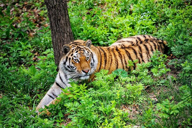 During this tour you will visit the famous Safari Park watching Amur tigers. The Siberian tiger (Panthera tigris altaica), also known as the Amur or Ussuri tiger, is a subspecies of tiger which once ranged throughout Western Asia, Central Asia and eastern Russia. Traditionally this tiger is considered as the biggest subspecies of tiger in the world.<br><br>• Guaranteed skip-the-line entrance