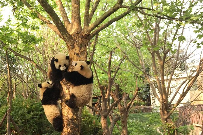 The giant pandas are not only Chinese national treasures but also beloved by people around the world. This full day customized private tour guarantees the best experience of the top attractions in Chengdu - giant pandas in Chengdu Panda Breeding Center and the spectacular Leshan Giant Buddha.