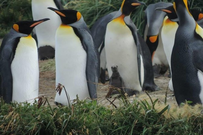 This is a full-day excursion to see the northern part of the big island of Tierra del Fuego, the little town of Porvenir; and the impressive King penguin colony along Useless Bay. These penguins are found all year round! <br>-12 hours in duration <br>-Navigation Tierra del Fuego by Ferry, <br>-Visit to the city museum and plaza <br>-Stops at Cerro Sombrero and Estancia San Gregorio. <br><br>THIS TOURS IS NOT AVAILABLE FOR THE MONTH OF JUNE 2018