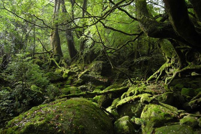 """Explore the mossy green forest of Shiratani-Unsuikyo on Japan's Yakushima Island on this 3- to 7-hour guided tour fromIsso and Kurio. In a small group of no more than four, soak up the forest's natural beauty and understand why is said to depict the world of Hayao Miyazaki's famous animation film """"Princess Mononoke."""""""