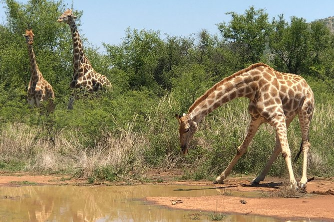 Enjoy a wonderful day Safari to the Pilanesberg National Park. You have the option to choose either a safari in an open vehicle or a safari in a closed vehicle. The tour can depart from either Johannesburg and surrounding areas, Sandton or Pretoria for the Pilanesberg National Park. You will be transported safely to the reserve and all points of interest along the way will be pointed out to you by your registered guide. View wild animals in their habitat. The open safari will be conducted in an open safari vehicle with a ranger. The closed safari will be conducted in a closed vehicle by a registered guide. Where other operators decide to save on lunch, on this tour this will not be the case and a premium lunch with a breathtaking view at Bakubung Lodge will be served.