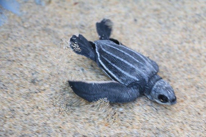 Turtle Release Escobilla Sanctuary, Huatulco, MÉXICO