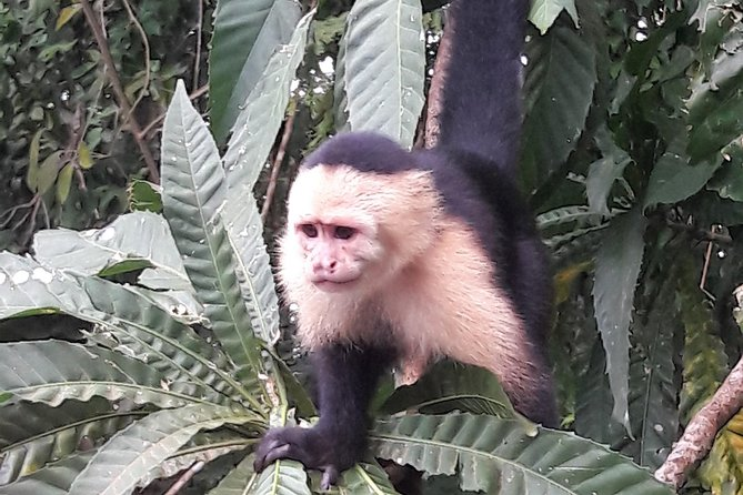 Amazing excursion to visit the Gatun Lake at the Panama Canal, monkeys in their wild enviroment at Monkey Island and a Panamanian indian village in the middle of the forest at the Soberania National Park.