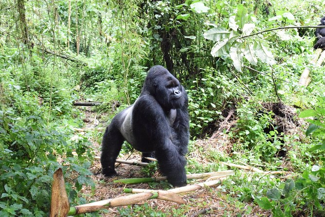 In this 3 days Eastern lowland gorilla safari, you'll get a life changing experience with the endangered species in their natural habitat. You'll also interact with local people and do other cool things like visit to the Lwiro Sanctuary which is one of the unique sanctuaries in Africa for its rich biodiversity.