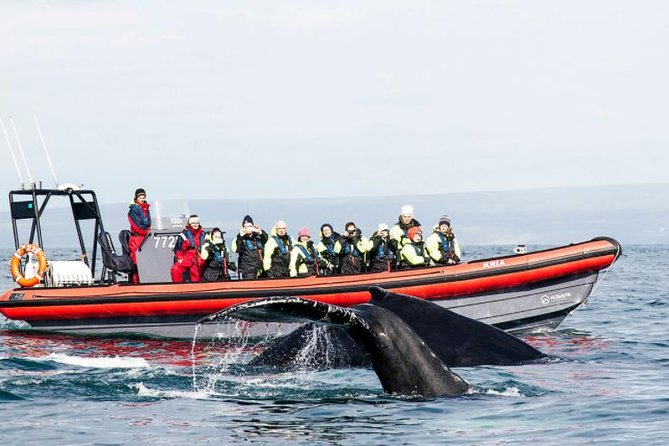 A 2-hour whale watching tour on a speedy RIB boat from the harbour of Husavik - The Whale Capital of Iceland. The RIB boats seat 12 passengers per boat, each with an expert whale watching guide and captain on board. The focus is on small group tours, eliminating competition for the best view on board. Each passenger gets a warm suit and a life jacket on board.