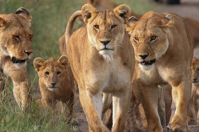Experience both the Maasai Mara and lake Nakuru National parks at a very good friendly price. <br>This is the tour that you are most likely to see all the BIG 5 animals<br>Here you join a group of 8 people in a car, we use a small customised safari car as opposed to a big bus because the small car can go offroad and near rivers for a closer look at the wildlife.<br><br>Our tents in maasai mara are big and they have a bed, hot shower and toilet inside. We also have lights in the rooms and electricity at the dining area to charge phones and cameras.