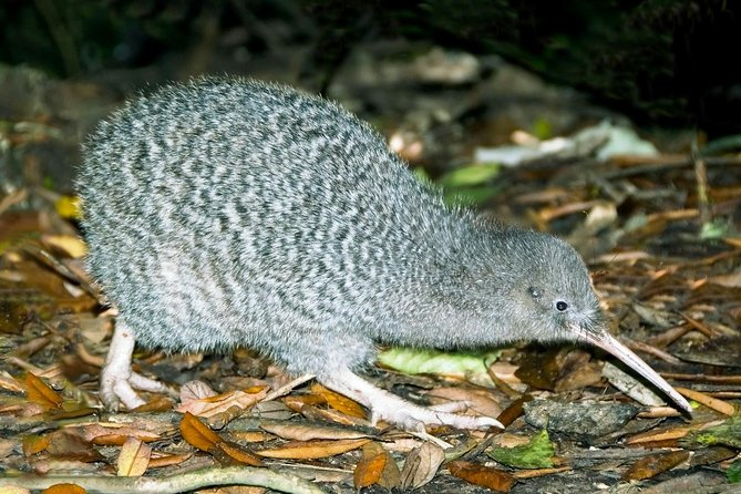 Overnight Kiwi Spotting Tour on Kapiti Island, Wellington, NUEVA ZELANDIA