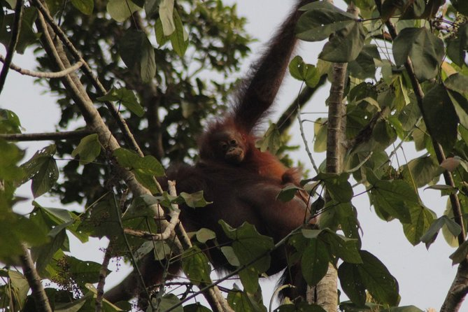 Take an unforgettable 3 day, 2 night wildlife adventure on the Kinabatangan River and enjoy the peaceful serenity of our off the beaten path eco-lodge. Spot orangutans, crocodiles, proboscis monkeys, hornbills, and more as you follow our expert guides on river cruises away from the crowds. Relax in our sustainably operated eco-lodge.<br><br>Don't miss out on this Kinabatangan River adventure that takes you to a less visited part of the river. Rest easy knowing you've chosen a tour dedicated to environmentally friendly operations.