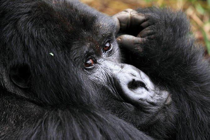 The 4 days Rwanda Gorilla trekking safari takes you to Volcanoes National Park, the home of Rwanda's mountain gorillas. The park is situated in north-western Rwanda, at the country's border with Congo and Uganda. Besides being a home to five of the eight Virunga volcanoes – Karisimbi, Muhabura, Bisoke, Gahinga and Sabyinyo, the park is a habitat to the endangered mountain gorillas and rare golden monkeys.