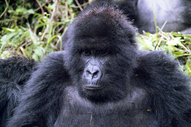 This safari takes you to Volcanoes National Park, the home of Rwanda's mountain gorillas. The park is situated in north-western Rwanda, at the country's border with Congo and Uganda. Besides being a home to five of the eight Virunga volcanoes – Karisimbi, Muhabura, Bisoke, Gahinga and Sabyinyo, the park is a habitat to the endangered mountain gorillas and rare golden monkeys.