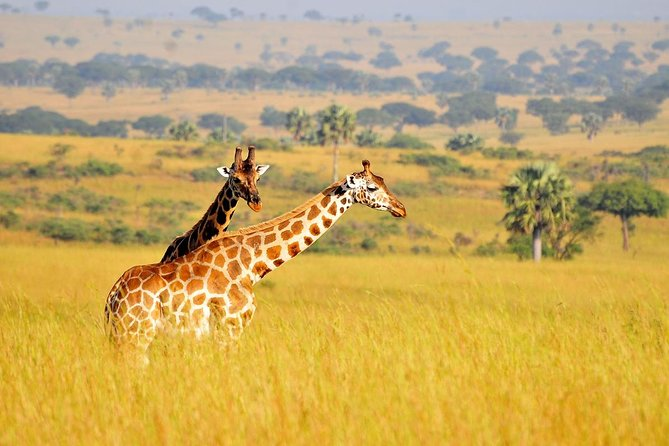 The 2 Days Uganda wildlife safari to Murchison Falls National Park takes you to the magical tour to the top of the Murchison Falls – World's most powerful waterfall, a memorable game drive in the open savannah landscapes of Murchison Falls National Park with sights of African elephants, the Cape Buffaloes, the Jackson's Hartebeest, the lions, the Rothschild Giraffes, the Oribis, Uganda Kobs, the leopards among other species. The Safari also features the Nile Launch cruise which extends for several Kilometers to the bottom of the falls offering possible sights of Hippos, Nile Crocodiles & the birds like the Shoebill stork. It a magical short wildlife in Uganda featuring lots of game viewing, adventure and recreation.