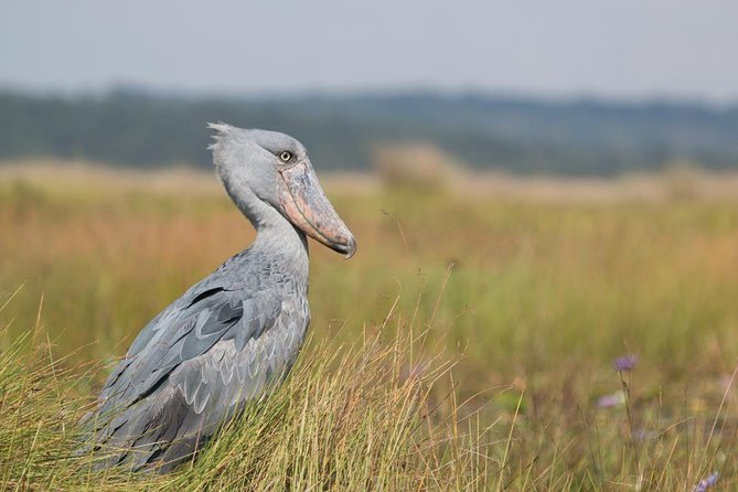 The 1 Day Mabamba Birding Excursion is an entire birding that is suitable for day break from the towns of Kampala and Entebbe. The day trip starts and finishes in Kampala exhibiting an entire day magical encounter swamp environment on the shores of Lake Victoria keeping counts of unique birds including the uncommon shoebill stork. The swamp dwelling sitatunga is also present. The famous Mabamba swamp presents an impressive birding experience on canoe.