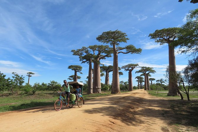 This is the best tour in Madagascar for a full day of highlights and photogenic settings you've probably seen in travel books all your life: Kirindy Park and Baobab Avenue. All transport between sites is in a well-appointed vehicle, usually an SUV. During your 8-hours between the two parks, you will see the otherworldly trees, beach vistas, wildlife parks, and bizarre deserts and vegetation that make Mada Earth's Most Unique Island. Save money and time and see everything here in one great and memorable day out with this tour! The drive to and from the park lasts approximately 1.5 hours each way.