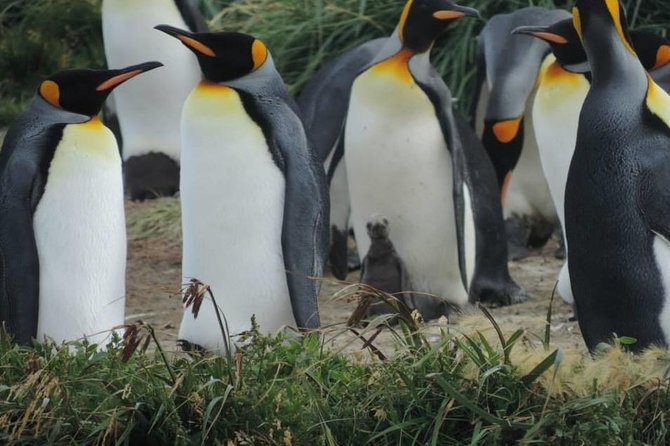 This is a full-day excursion to see the northern part of the big island of Tierra del Fuego, the little town of Porvenir; and the impressive King penguin colony along Useless Bay. These penguins are found all year round! <br>-13 hours in duration <br>-Navigation Tierra del Fuego by Ferry, <br>-Visit to the city museum and Selknam square <br>-Stops at Cerro Sombrero and Estancia San Gregorio.