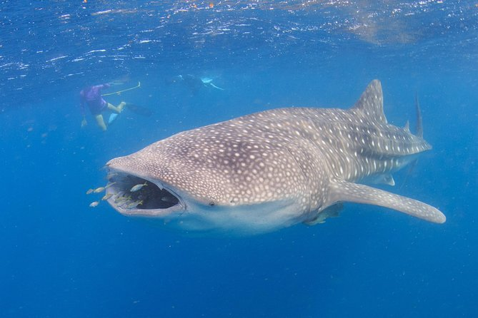 Swim with the biggest fish in the sea!This touris one notto be missed.Whale Sharks make an annualappearance in Coral Baybetween March - June.