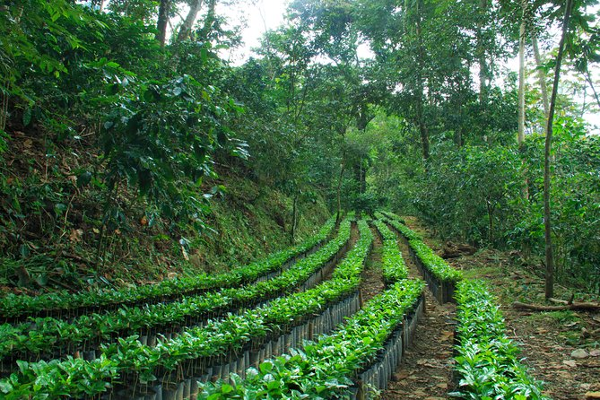 Real Coffee Plantation from Huatulco HT, Huatulco, MEXICO