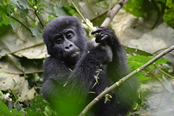 """We take you on an awesome gorilla tracking tour with us in the jungle clad Bwindi Impenetrable Forest or Mgahinga National Parks. Spend half the day with these odd sounding and gorgeous primates.<br><br>Highlights;<br>- Gorilla Tracking<br>- Cultural Delights<br>- Equator stop for the traditional """"one foot in each hemisphere"""" photo opportunity<br>- Stopover at Igongo Cultural Centre.<br>- Lake Bunyonyi Thrill"""