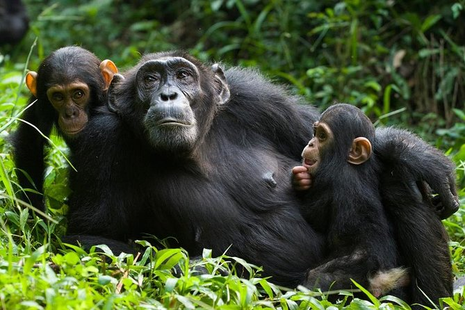 This tour will take you to the magnificent rainforest in southwestern of Rwanda in Nyungwe National Park. The park comprises different activities to visit including chimpanzees tracking, canopy walkway experience, monkey trekking, bird watching, and much different nature walks. We will get a chance to do the canopy walkway and the next day do the chimpanzees trek. This tour fee includes transport, park entrance fees, food and accommodation at Nyungwe Top View Hill Hotel.