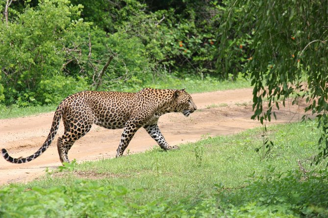 "The leopard is the key attraction to Yala National Park:<br><br> ""Showing the leopard is our mission""<br><br>Other Animals<br><br>There are many other animals living inside yala national park where you could see with Sri Lanka Yala Safaris.<br><br>Some of important animals are:<br><br>Elephant, Sloth Bear, Wild Boar, Spotted Deer, Mongoose, Land Monitor, wild buffalo, samba deer, jackal,Jungle Fowls, Peacocks (pea fowls), stalks, Pigeons, Bee Eaters, eagles, kites, Falcons, pelicans, king fishers,Snakes, Beetles, aquatic Beings and many kinds of birds."