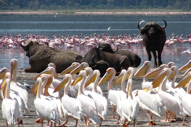 Enjoy the scenic settings and the boiling geysers and hot springsatLake Bogoria home at times to one of the world's largest populations of lesser flamingos and a morning game drive at Lake Nakuru seeing Rhinos.<br><br>Lake Bogoria is considered to be the one of the most beautiful lake in Kenya is situated in the Rift Valley and sometimes is the home of the world's largest populations of lesser flamingos.The scenic around Lake Bogoria is stunning, offering a breathtaking sight to visitors.<br><br> The hot springs are ideal for bathing and are excellent natural spas for the visitors.Animals that can be spotted in Bogoria and Lake Nakuru includes Buffaloes, Rhinos, Warthogs, Hyenas, Zebras, Baboons, Gazelles, Impalas and Dik Diks.<br><br>