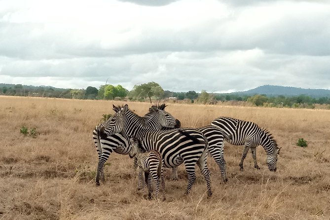 Enjoy three days safari to Mikumi NP. Your safari will start from Dar es Salaam by 4x4 tourist Toyota Land Cruiser with window sitting guarantee heading to Mikumi NP. On the way you will pass through the wide field of sisal plantation. You will pass through the different landscape driving along the Uluguru Mountain, the long range of mountain which starting from southern Kenya (Taita Hills). You will arrive in Mikumi NP for three days game drive with accommodation inside the park or outside the park.