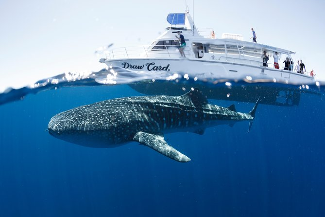 Explore the aquatic wonderland of Ningaloo Reef with 3 Islands Whale Shark Dive! <br><br>Specialising in Swim with Whale Shark Tours, 3 Islands Whale Shark Dive operate full-day snorkel tours between mid-March and mid-August. With courtesy bus transfers departing from Exmouth at 7.15am, and returning at 4.30pm. <br><br>Swim alongside whale sharks, snorkel the reef and spot seasonal sea life such as turtles, dugongs, manta rays, whales and more during this fun, safe and informative eco-tour.<br><br>From courtesy pick-up to drop off the tour includes everything;<br> • delicious morning tea, lunch and afternoon platter, <br> • snorkel gear and wetsuits, <br> • assistance from experienced staff, <br> • morning reef snorkel, <br> • exclusive spotter plane to locate whale sharks and marine life,  <br> • a safety support tender, <br> • Free Photos from your day, <br> • The best No-Sighting Policy.