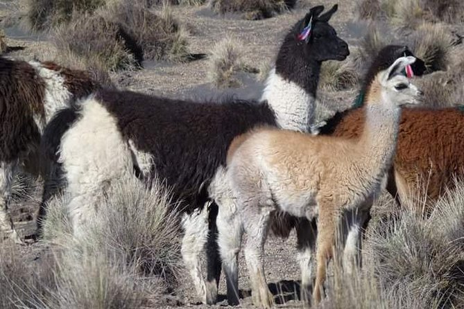 Private Cultural Tour: Uyuni Salt Flats includes grazing of llamas, Uyuni, BOLIVIA