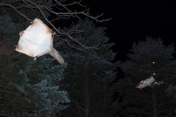 Flying Squirrel Watching Tour, Nagano, JAPON