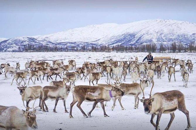 Reindeer visit, and Sami Culture Including Lunch from Tromso, Tromso, NORUEGA