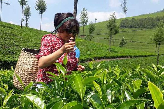 Plantation walk is a day tour. Those who are coming to Munnar can opt for this activity. This involves a maximum 3 hour walk through the Tea plantation and interaction with Tea Pluckers to learn the local culture of the people. Moreover this walk is good for heath in the form of breathing pure oxygen and peace of mind. It is a new attraction introduced by Lockhart Farm Tourism in Munnar. The objective of this unique programme is to give the tea lovers all around the world the unique experience of producing their own tea from the tea plant to the cup.<br><br> The Lockhart tea factory is famous for its Orthodox Tea produced in the traditional way. The museum includes a living factory which was built in 1936 and a tea sales outlet and tea-tasting sections. The visitors are given a briefing about the origins of tea for consumption, its history & health benefits and explained about the traditional tea manufacturing processes.<br><br> Tea tasting in the factory