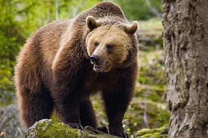 MÁS FOTOS, Bear Watching in The Wild from Brasov