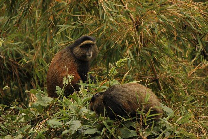 Enjoy our 4 days Primate safaris in Uganda and Rwanda. Trek Mgahinga national park and see Golden Monkeys only found within the Virunga massif area.