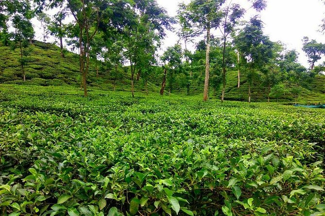 """Sreemangal is abundant with many naturally beautiful places like Madhabpur Lake, Lawachara national park and sanctuary, Tea Garden of Srimongol, Ham Ham waterfall, Nilkantha Tea Cabin where you can enjoy rainbow in a cup of tea.<br><br>Then comes the most exciting place Lawachara National Park. A piece of information about the place- A part of the movie 'Around the World in Eighty Days' has been shoot in Lawachara forest. That's enough info for any travel need to have a journey in this sanctuary because every single tourist knows about 'jules Verne"""" and his amazing novels.<br><br>While walking through the forest you will see Khashia Punji, a local tribal living there for hundreds of year. You might want to talk to them and learn about their cultures and life. Our hosts will help you to get along with the Khashias for a while."""