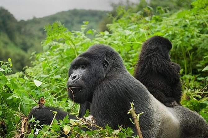 2 Days Rwanda Gorilla Tour; The thrill-and awesome sensation of looking into<br><br>The eyes of the world's largest living primates (mountain gorillas) in their natural Habitat, Volcanoes National Park. <br><br>An awe-inspiring experience awaits you in this part of the country. <br><br>It is fun, breathtaking and memorable. <br>