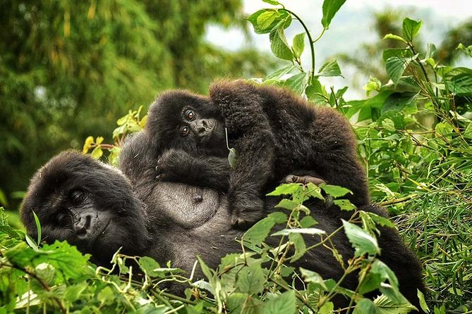 Our 4 Days Rwanda Gorilla Tour will take you to remote Africa in search of rare mountain Gorillas. Become one of the privileged few to get up close and personal encounter with a group of habituated primates while gorilla trekking. Witness the sight of the impressive Virunga Mountains.