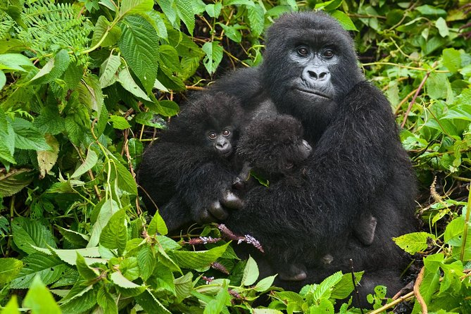 Our 4 Days Rwanda Gorilla Trekking & Golden Monkey Tour will take you to remote Africa in search of rare mountain Gorillas. Become one of the privileged few to get up close and personal encounter with a group of habituated primates while gorilla trekking. Witness the sight of the impressive Virunga Mountains.<br>