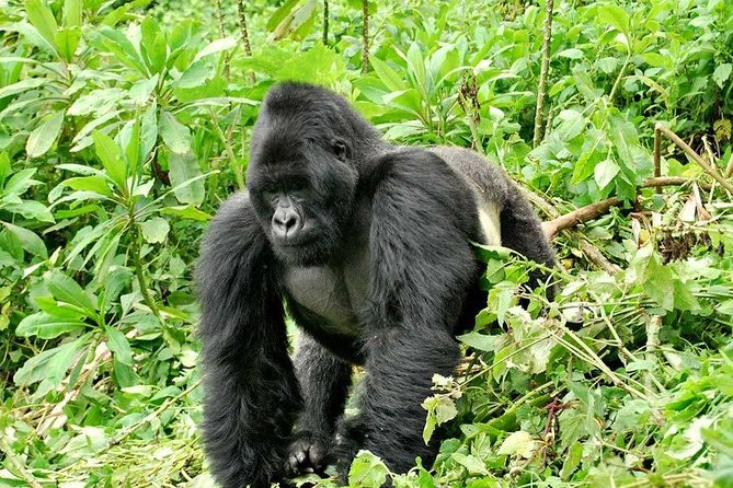 This gorilla safari to Rwanda gives you a chance to go trekking gorillas twice in the Volcanoes national park viewing different Gorilla families or back to the same family for the second gorilla trek. Do not miss to see the spectacular views of the Virunga Mountains heading north to the Volcanoes national park.