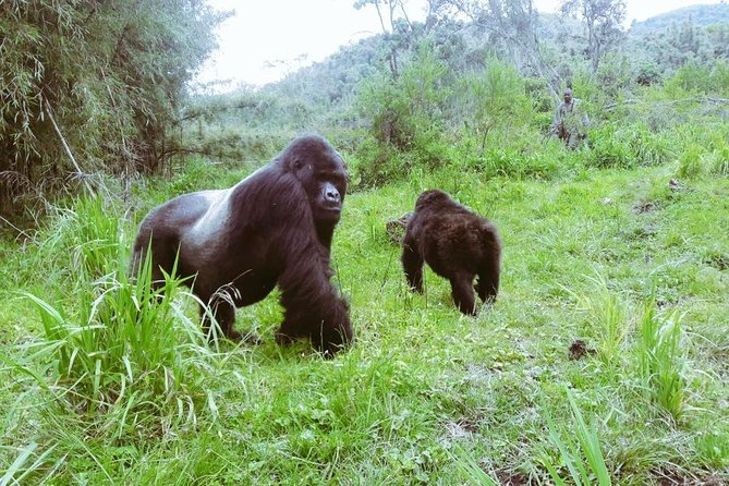 This 5 Days Rwanda Gorilla Safari & Lake Kivu Splash will take you to remote Africa in search of rare mountain Gorillas. Become one of the privileged few to get up close and personal encounter with a group of habituated primates while gorilla trekking. Witness the sight of the impressive Virunga Mountains. Visit Lake Kivu, one of the Africa's Great Lakes and prepare your cameras for incredible wildlife and landscape photography