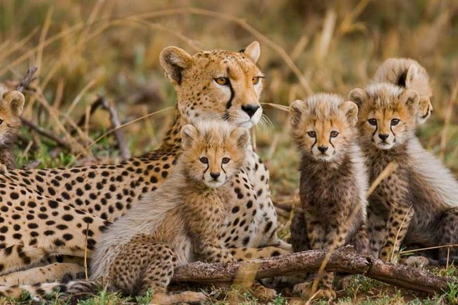 This tour take you through two of the major parks of Kenya. The wildlife safari starts at Masai Mara – Tsavo East. The safari allows you to see animals in their natural habitat. Though you go to three national parks in this safari. Each national park has it uniqueness.<br><br>Tsavo East National Park The sight of dust-red elephant wallowing, rolling and spraying each other with the midnight blue waters of palm-shaded Galana River is one of the most evocative images in Africa. These, along with the 300 kilometer long Yatta Plateau, the longest lava flow in the world, make for an adventure unlike any other in the Tsavo East. The park forms the largest protected area in Kenya and is home to most of the larger mammals, vast herds of dust –red elephant, Rhino, buffalo, lion, leopard, pods of hippo, crocodile, waterbucks, lesser Kudu, gerenuk and the prolific bird life features 500 recorded species.<br>