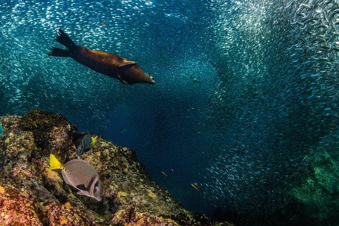 Swimming with Sea Lions in Sea of Cortez, Todos Santos, MÉXICO
