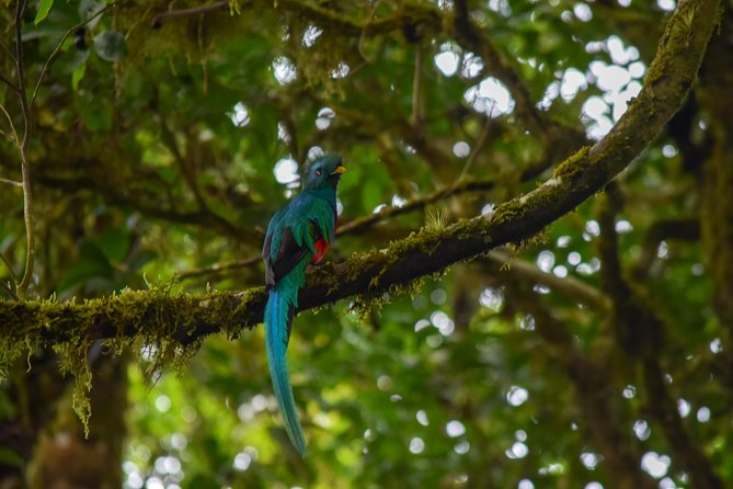 Costa Rica is home of more than 900 species of birds, as a result it includes local and migratory species. We offer a personalized and interactive tour. On the other hand, we motivate national and international tourist to discover and explorer our exotic biodiversity of mammals and birds that are found inside the Cloud Forest and in transition areas. Meanwhile, a guaranteed wonderful experience within one of the most beautiful places in our gorgeous Costa Rica.