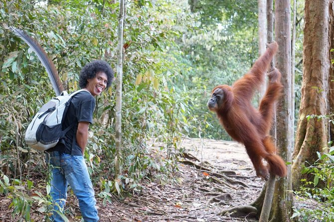 You will encounter the 'king' of the jungle of Bukit Lawang: Orangutans! Also will you see Thomas leaf monkeys, varans, if you're lucky gibbons, ... . You can enjoy nature to the fullest.