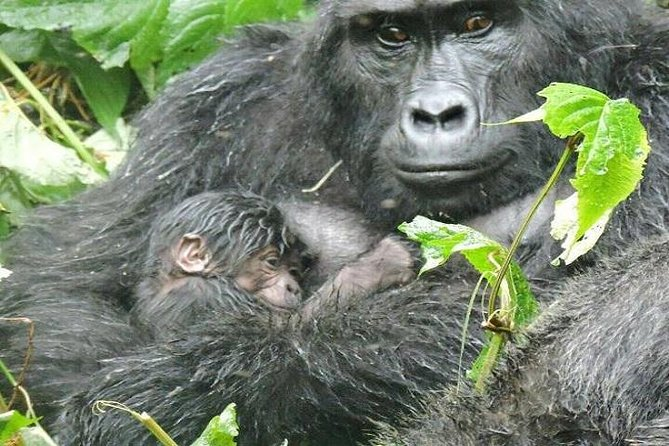 It has the most rewarding Gorilla tracking and as well as the tour of lake Bunyonyi the spectacular scenery that will leave the clients appreciating their little time spend on the tour of the Country.
